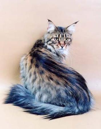 Фотографии Мэйн-кун порода кошек, Фото 5.